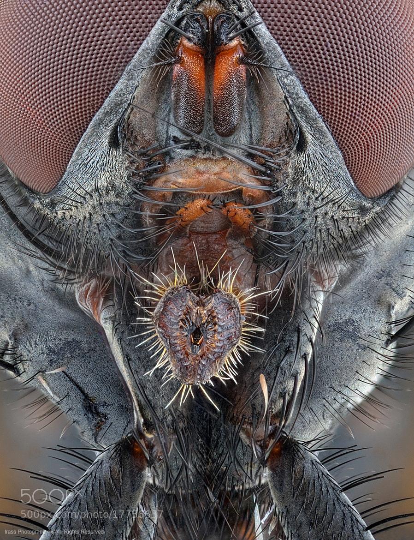 Photograph Fly Mouthparts. by ireneusz irass walędzik on 500px