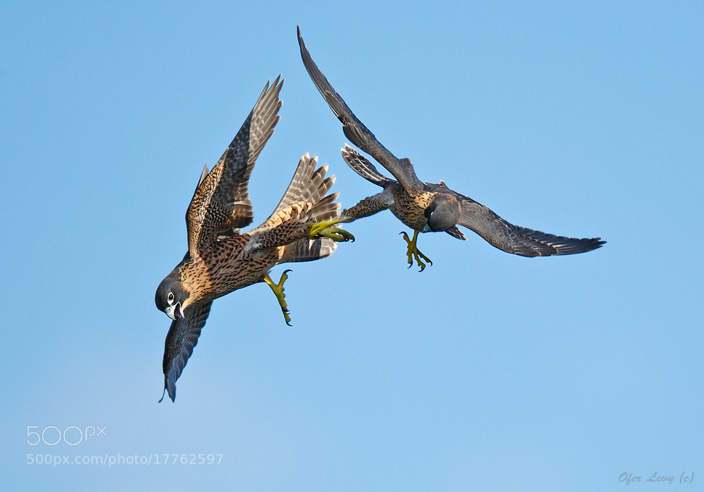 Photograph Young Peregrines mock fighting by Ofer Levy on 500px