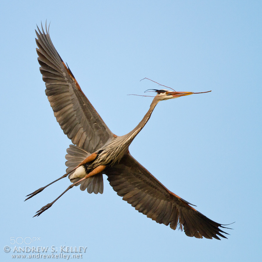 Photograph Great Blue Heron with Nesting Material by Andrew Kelley on 500px