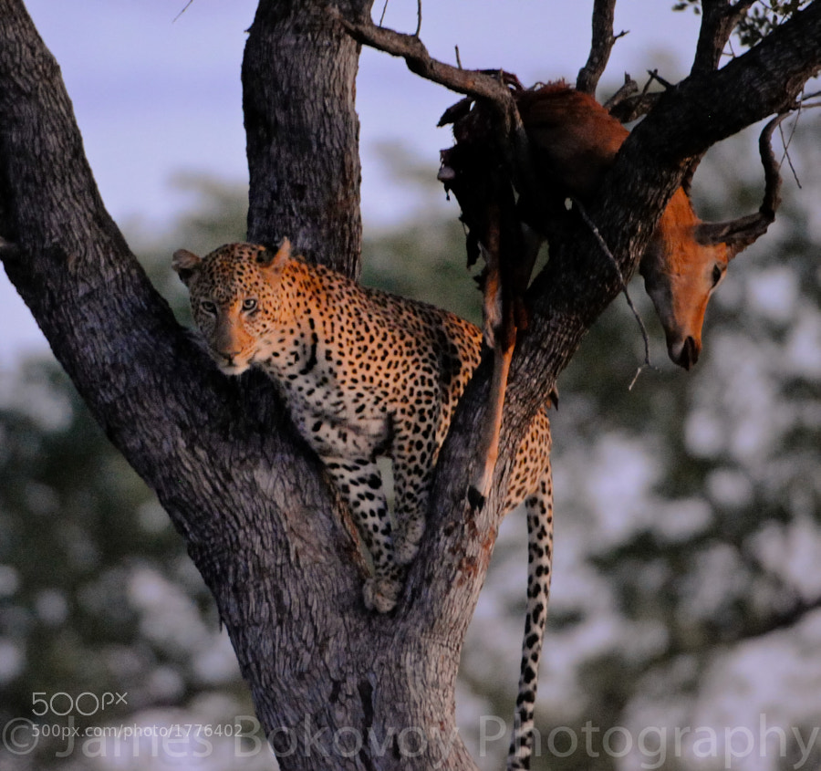 Leopard in Kruger National Park taking a break from its meal.
