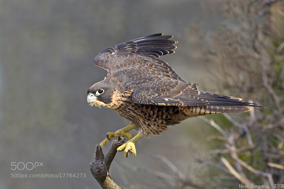 Photograph Peregrine Falcon juv by Nevil Lazarus on 500px