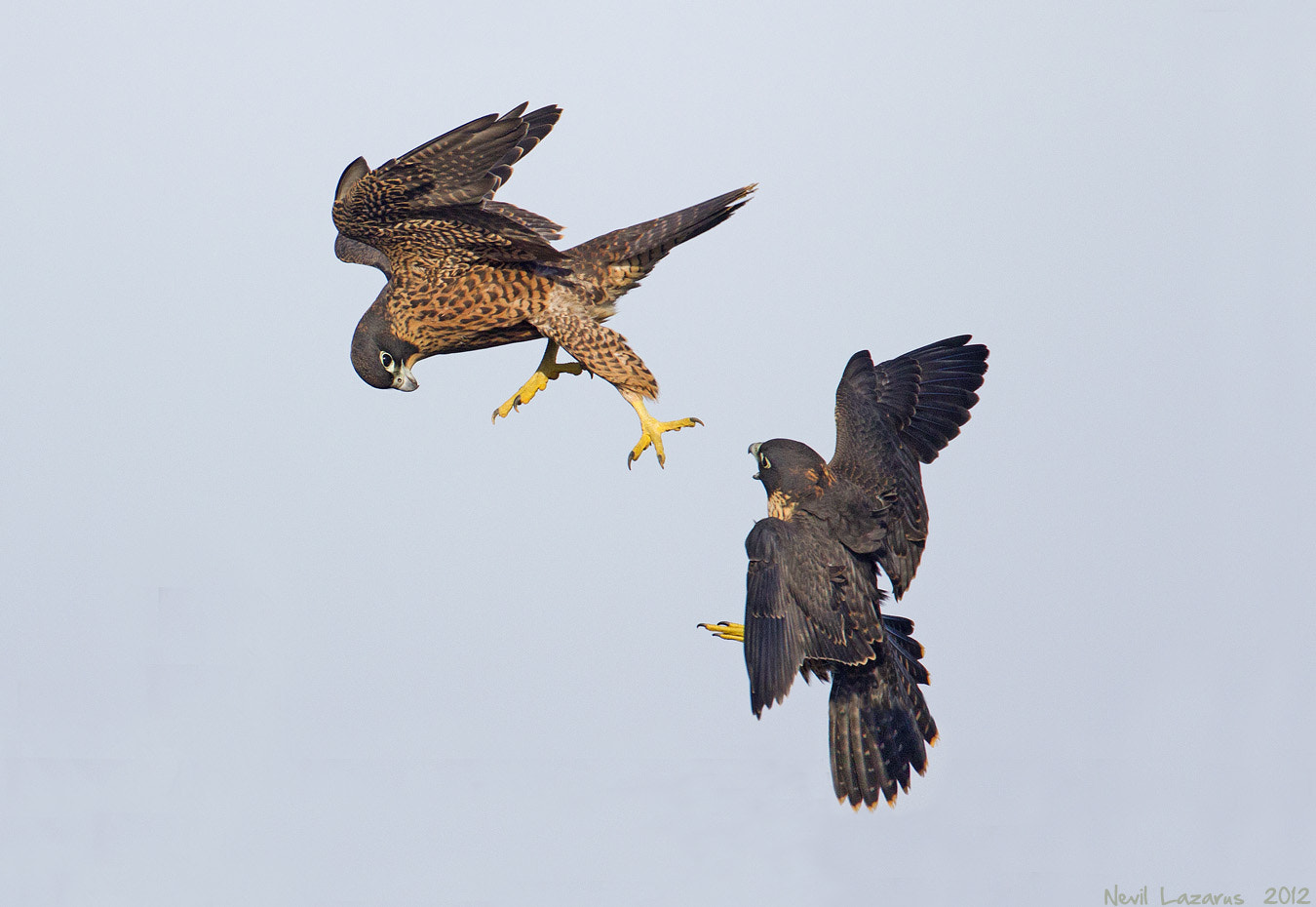 Photograph Peregrine Falcon - juveniles learning by Nevil Lazarus on 500px