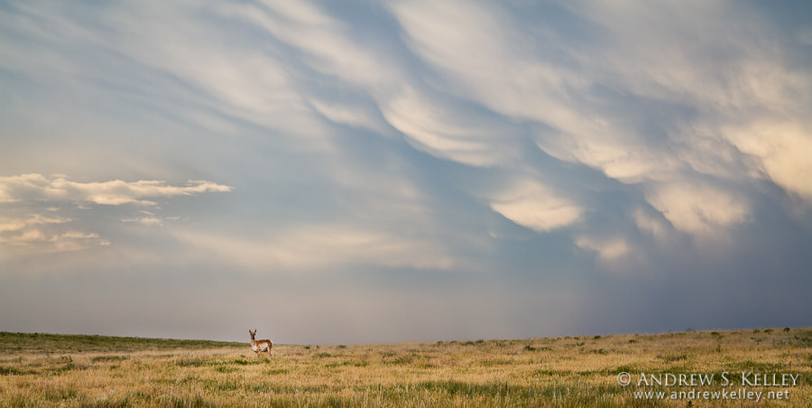 Photograph Pronghorn Landscape by Andrew Kelley on 500px