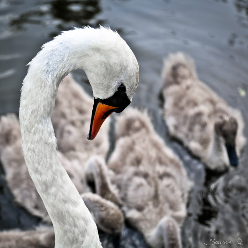 Photograph Mother Swan .. by Sawsan Mohammed on 500px