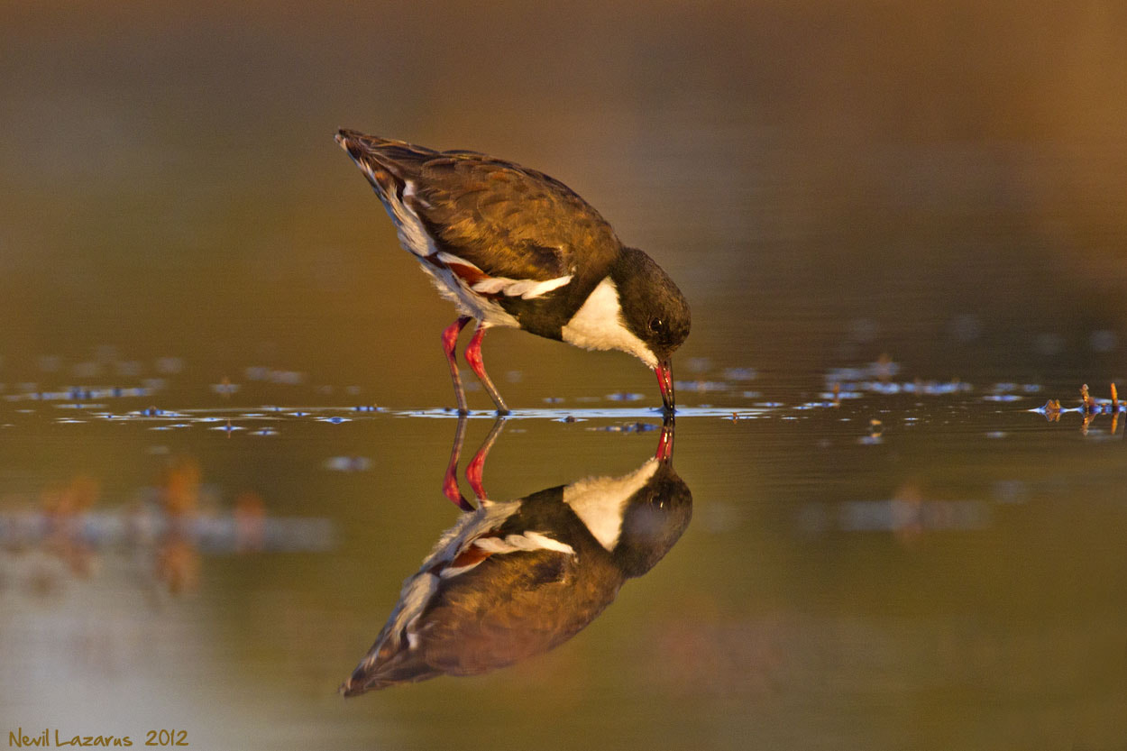 Photograph Red-kneed Dotterel by Nevil Lazarus on 500px