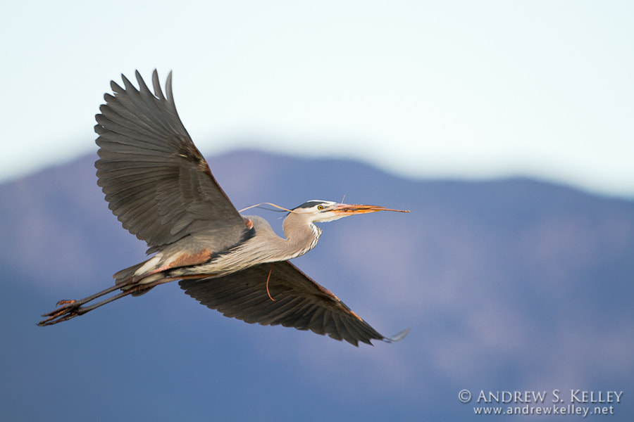 Photograph Great Blue Heron in Flight by Andrew Kelley on 500px