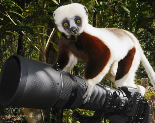 Lemur enjoying my Nikon in Madagascar