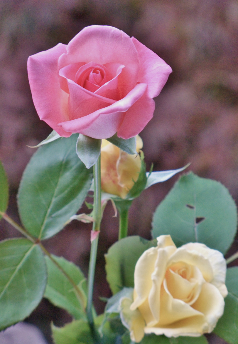 Photograph Vintage Roses  by Nancy Andersen on 500px