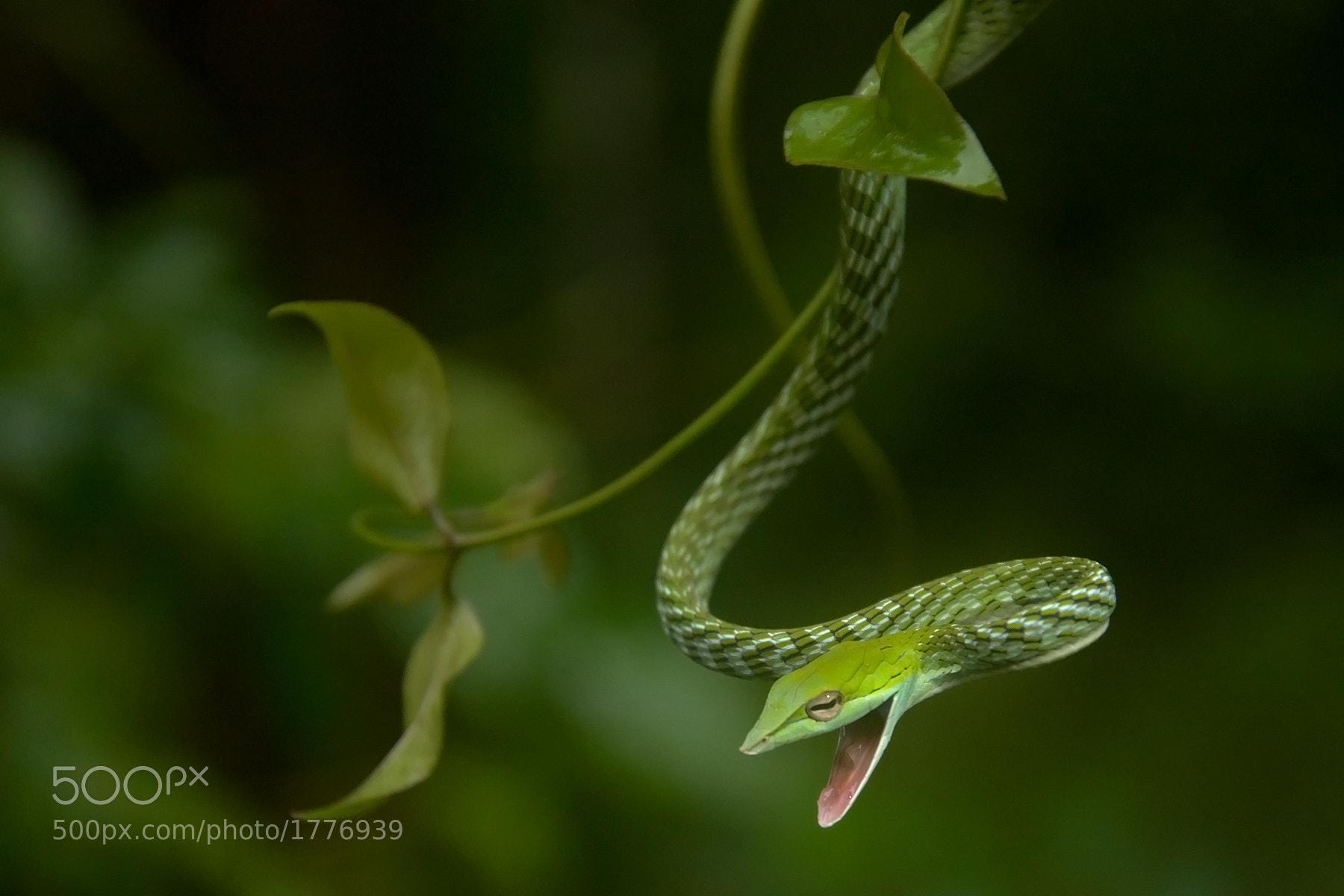 Photograph Green Vine Snake by Shreeram M V on 500px