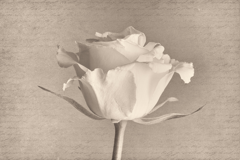 Photograph White Rose by Penny Myles on 500px