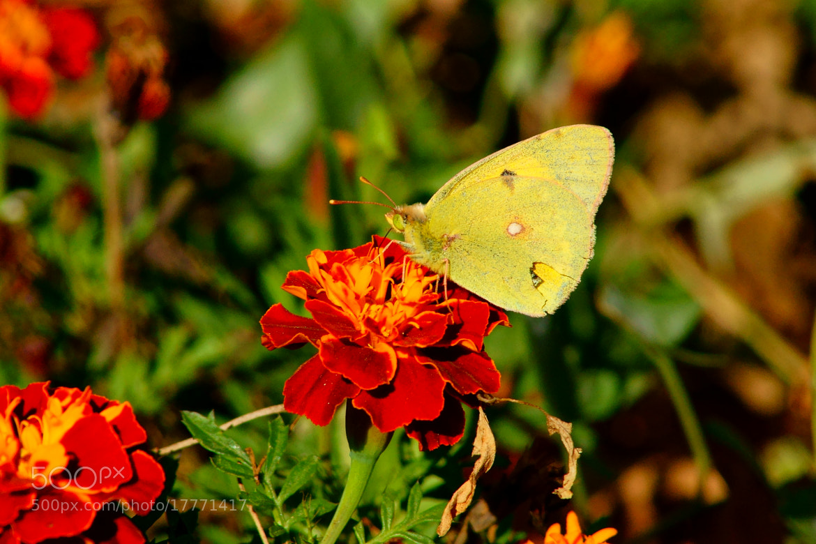 Photograph The latest butterfly by Grigory Nesvetaev on 500px