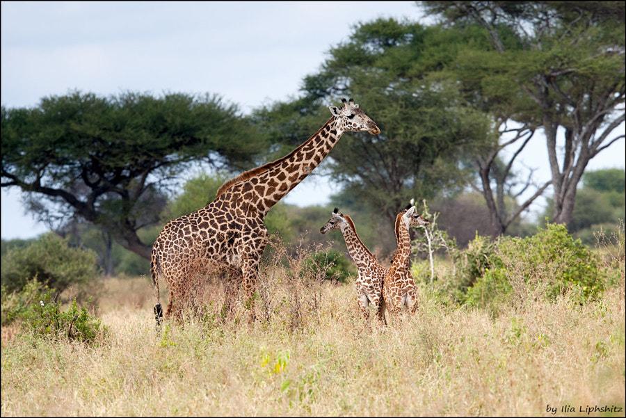 Giraffes of Tarangire №1