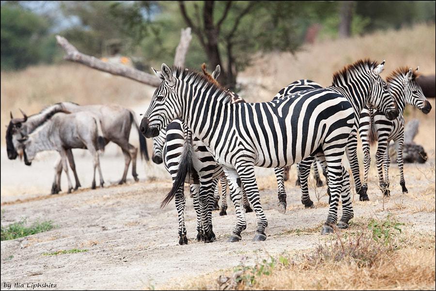 Zebras of Tarangire №1