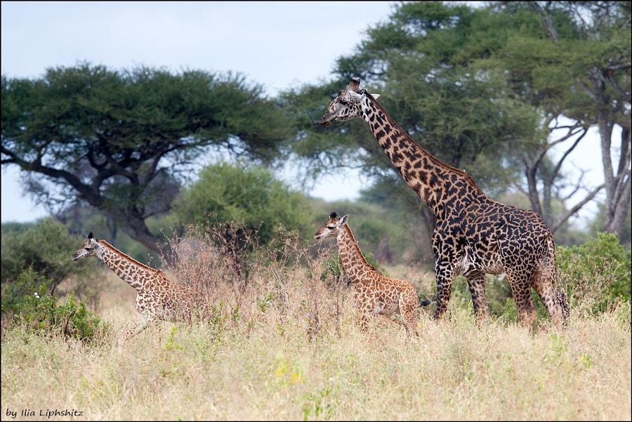 Giraffes of Tarangire №2