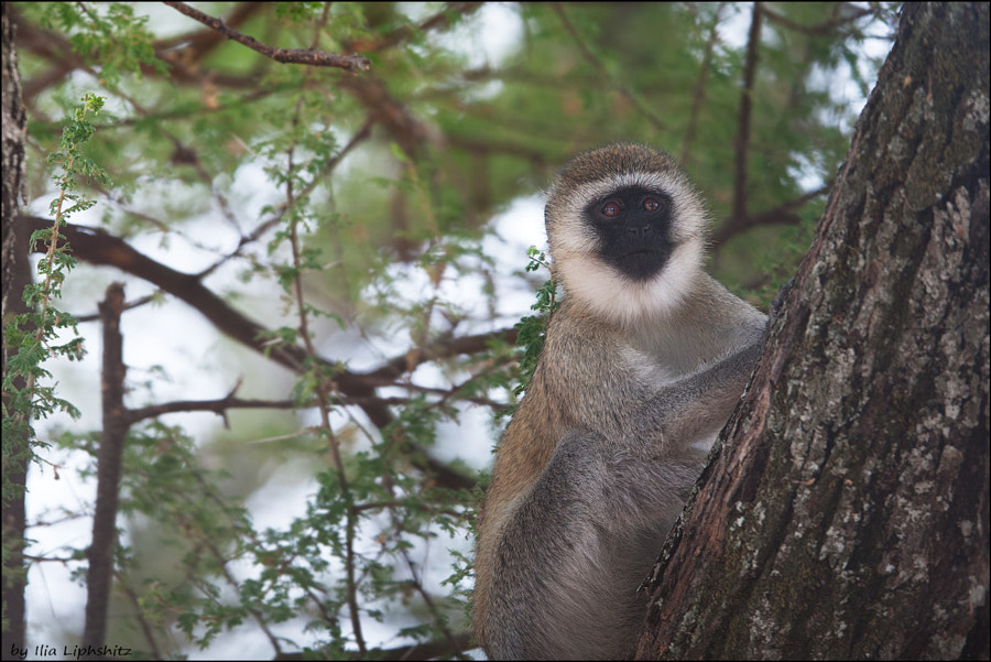 Vervet monkey, Tarangire