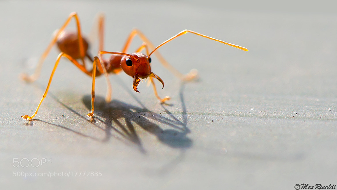 Photograph Atomic ant by Max Rinaldi on 500px