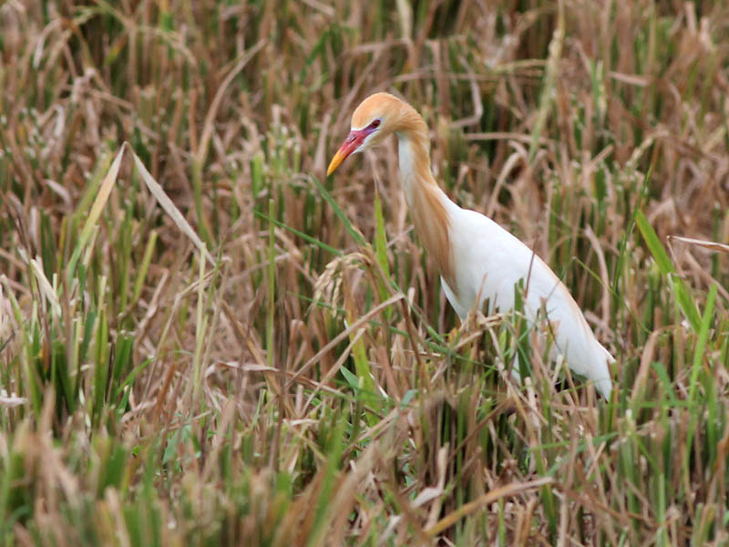 Photograph Cattle Egret by Aat Bender on 500px