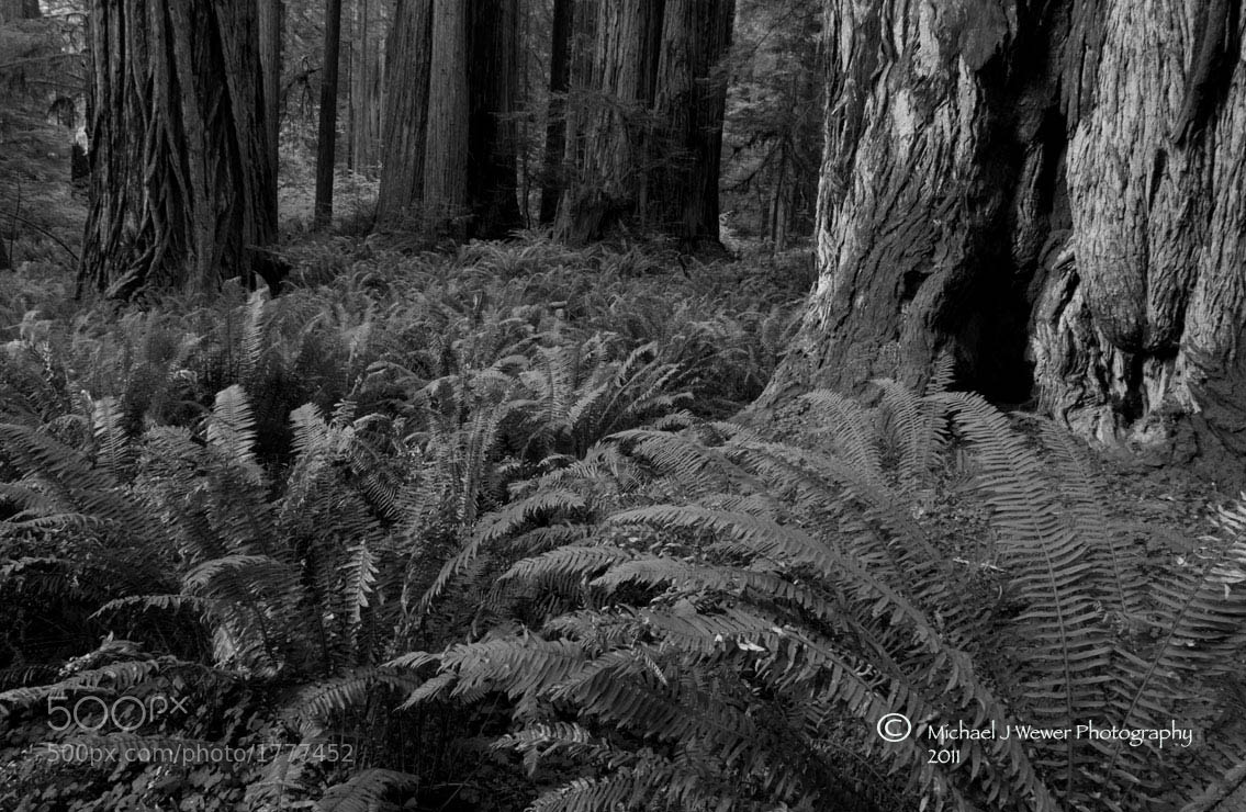 Photograph Prairie Creek Redwoods by Michael Wewer on 500px