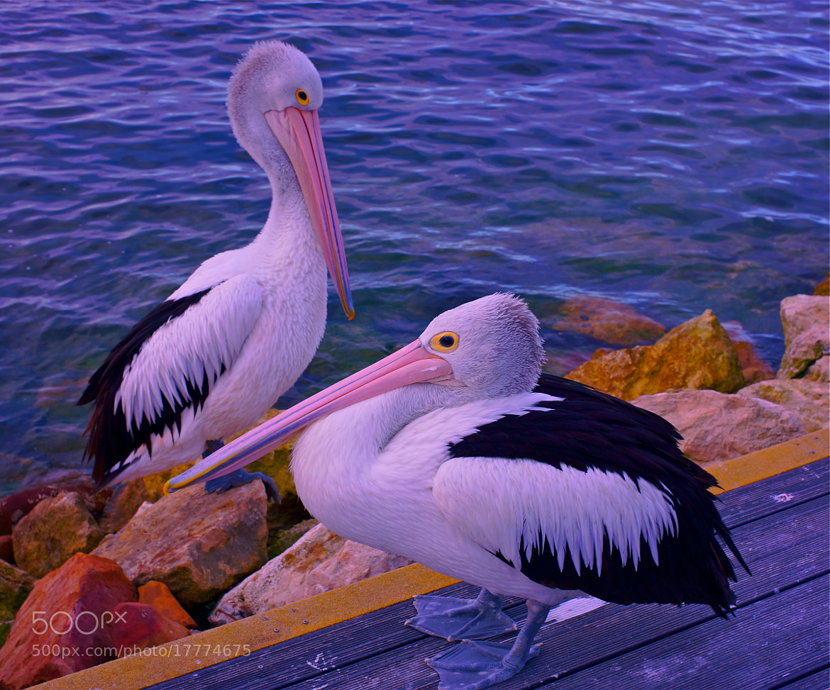 Photograph Pelican Date by Sim  Kim Seong on 500px