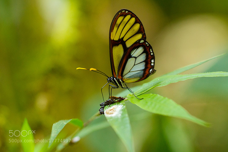 Photograph Glasswind butterfly by Mauricio Pacheco on 500px