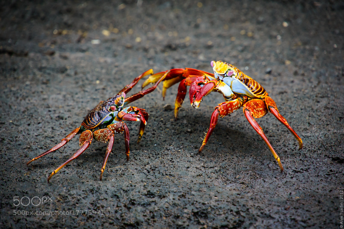 Photograph Crabs Battle by Alex Tsarfin on 500px