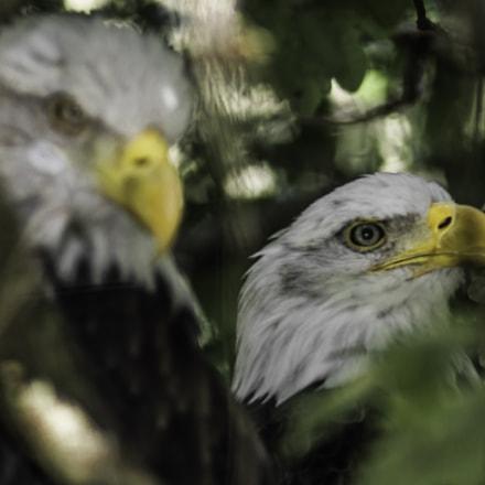 The Bald Eagle-Le Pygargue à tête blanche