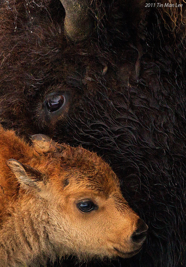 Photograph Bison calf by Tin Man on 500px