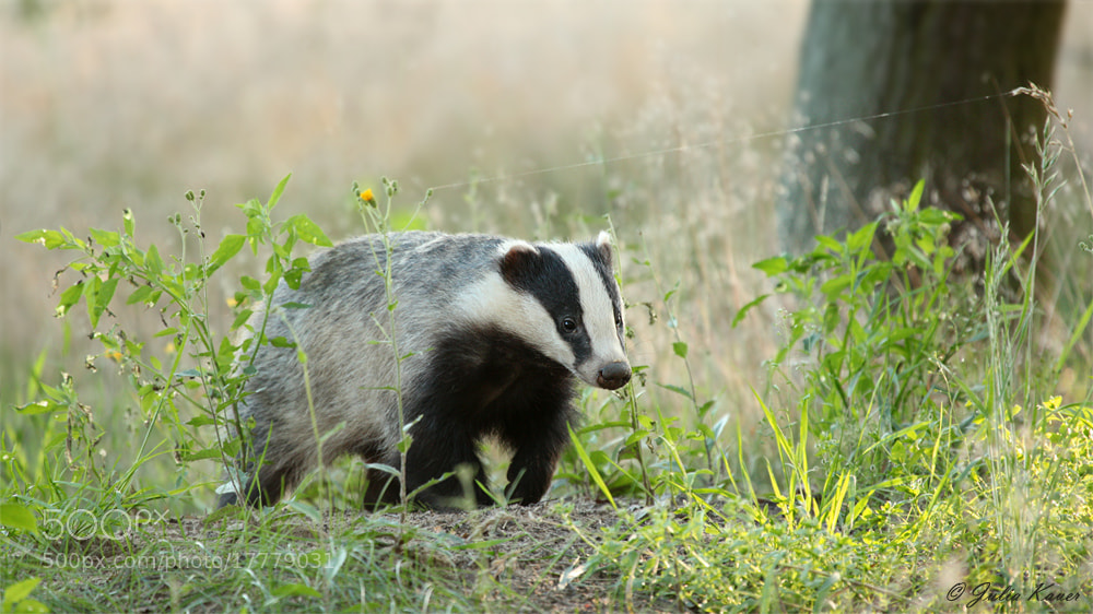 Photograph Badger in Summertime by Julia Kauer on 500px