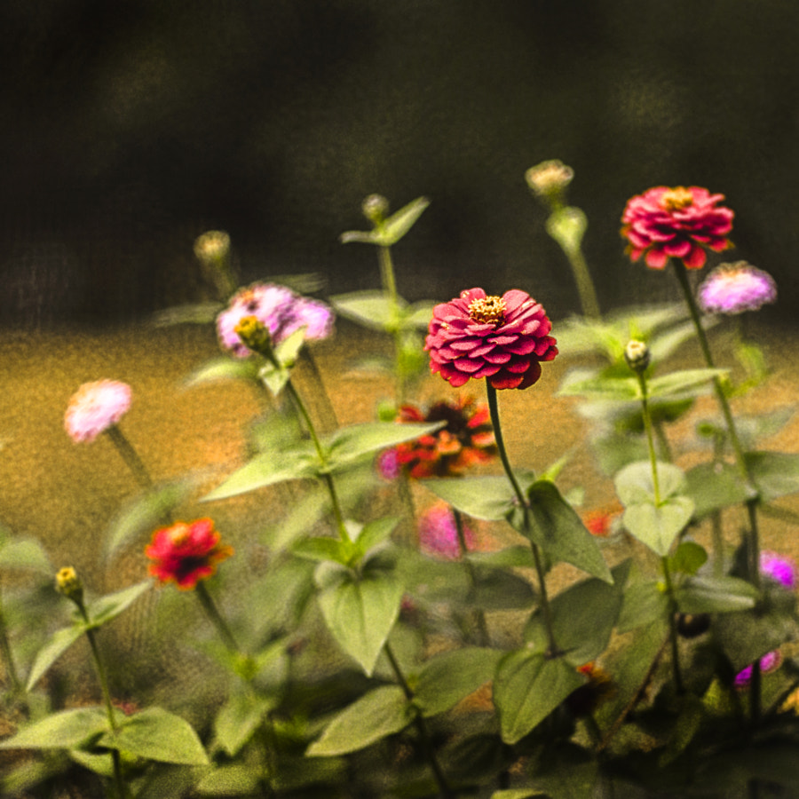 Zinnias by Jeff Carter on 500px.com