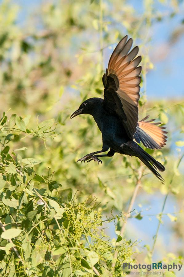 tristramii Bird