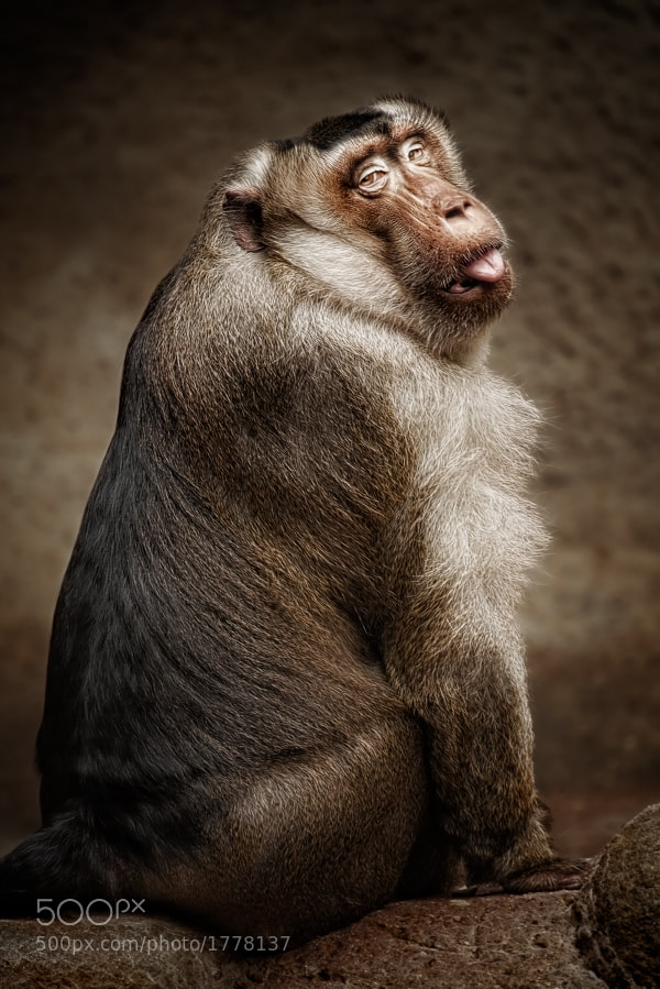 Southern pig-tailed macaque by Manuela Kulpa (erblicken) on 500px.com