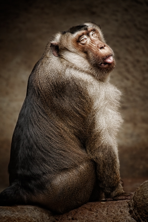 Photograph Southern pig-tailed macaque by Manuela Kulpa on 500px