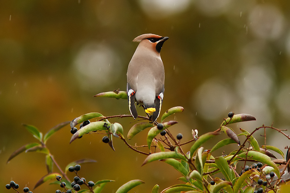 Photograph Bohemian waxwing in the rain. by Tom  Kruissink on 500px