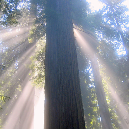Rays of Hope Redwood, Canon POWERSHOT S410