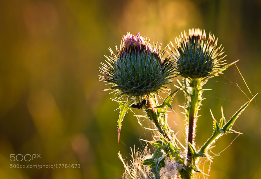 Photograph Thistle in sunlight by Benjamin Egermann on 500px