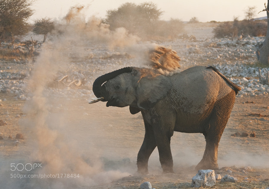 A young Elephant dusts himself down following a late night bath at Okaukuejo, Etosha, Namibia, 1st September 2008.