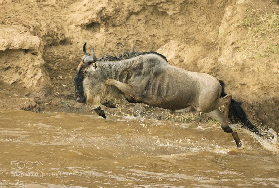 A Gnu takes the plunge into the Mara River, Masai Mara, Kenya, 13th September 2007