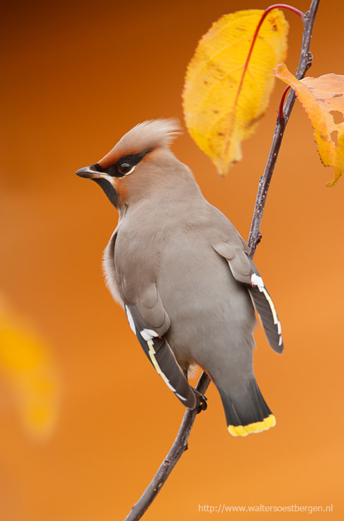 Photograph Waxwing by Walter Soestbergen on 500px