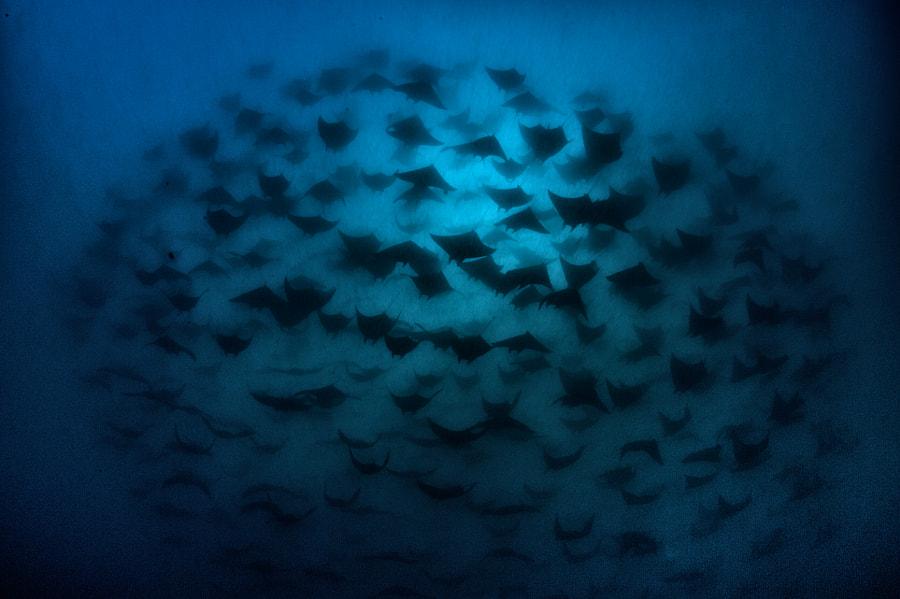 School of Mobula Rays in Galapagos