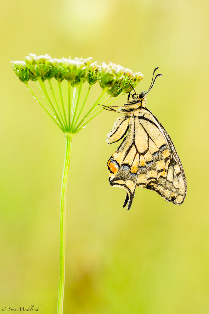 Photograph Schwalbenschwanz (Papilio machaon) by Sven Micklisch on 500px