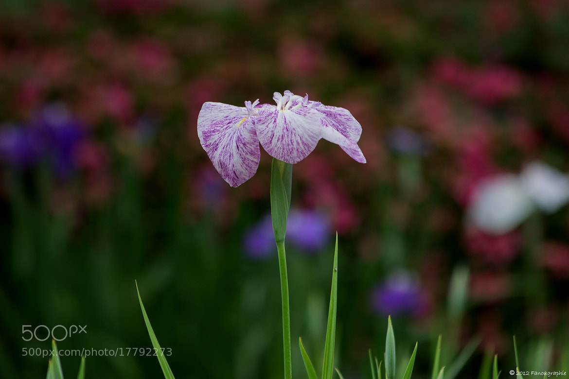 Photograph Japanese Iris by Fanougraphie * on 500px