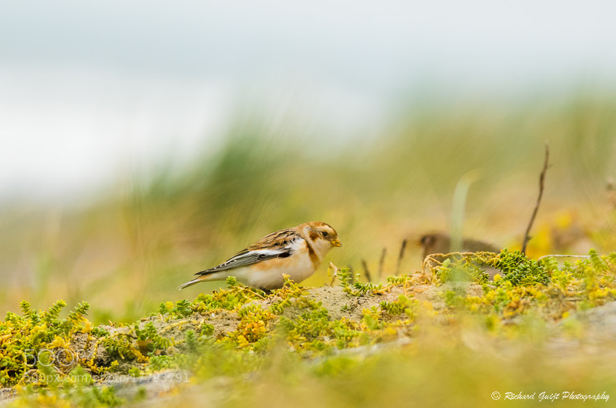 Photograph Snow Bunting (Plectrophenax nivalis) by Richard Guijt on 500px