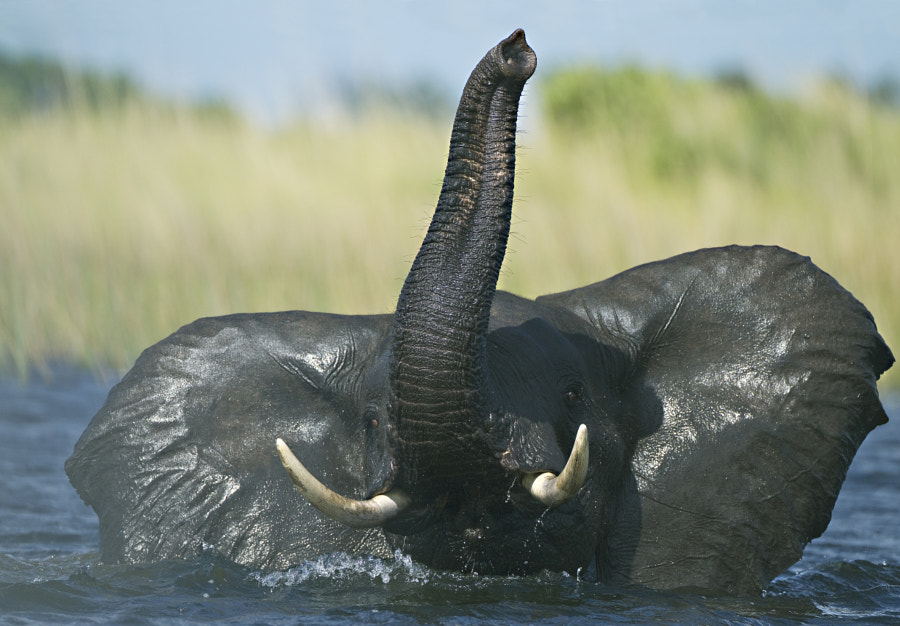 We found this Elephant crossing a channel in the Okavango, and he decide to inspect our boat, 27th December 2010
