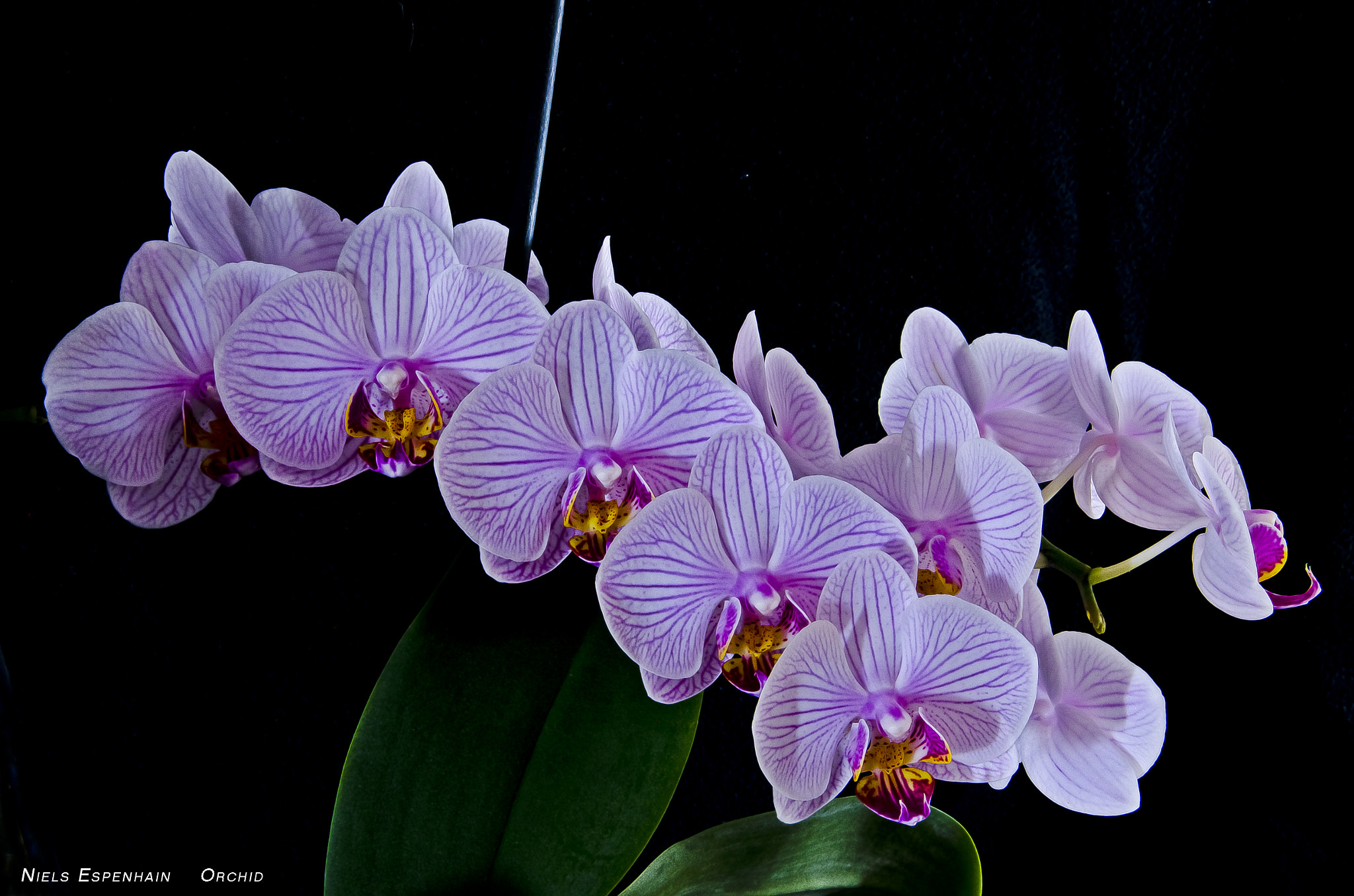Photograph Orchid by Niels Espenhain on 500px