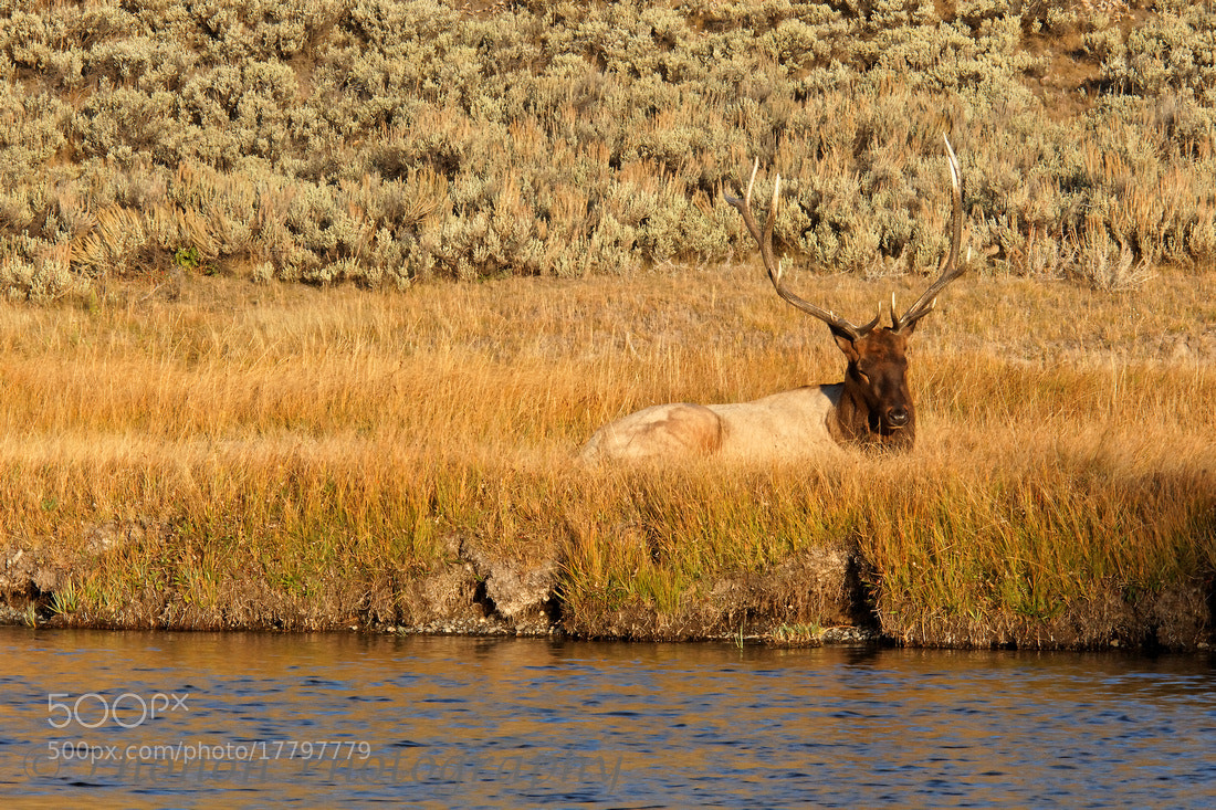 Photograph Elk at the river's edge by Joe Dineen on 500px