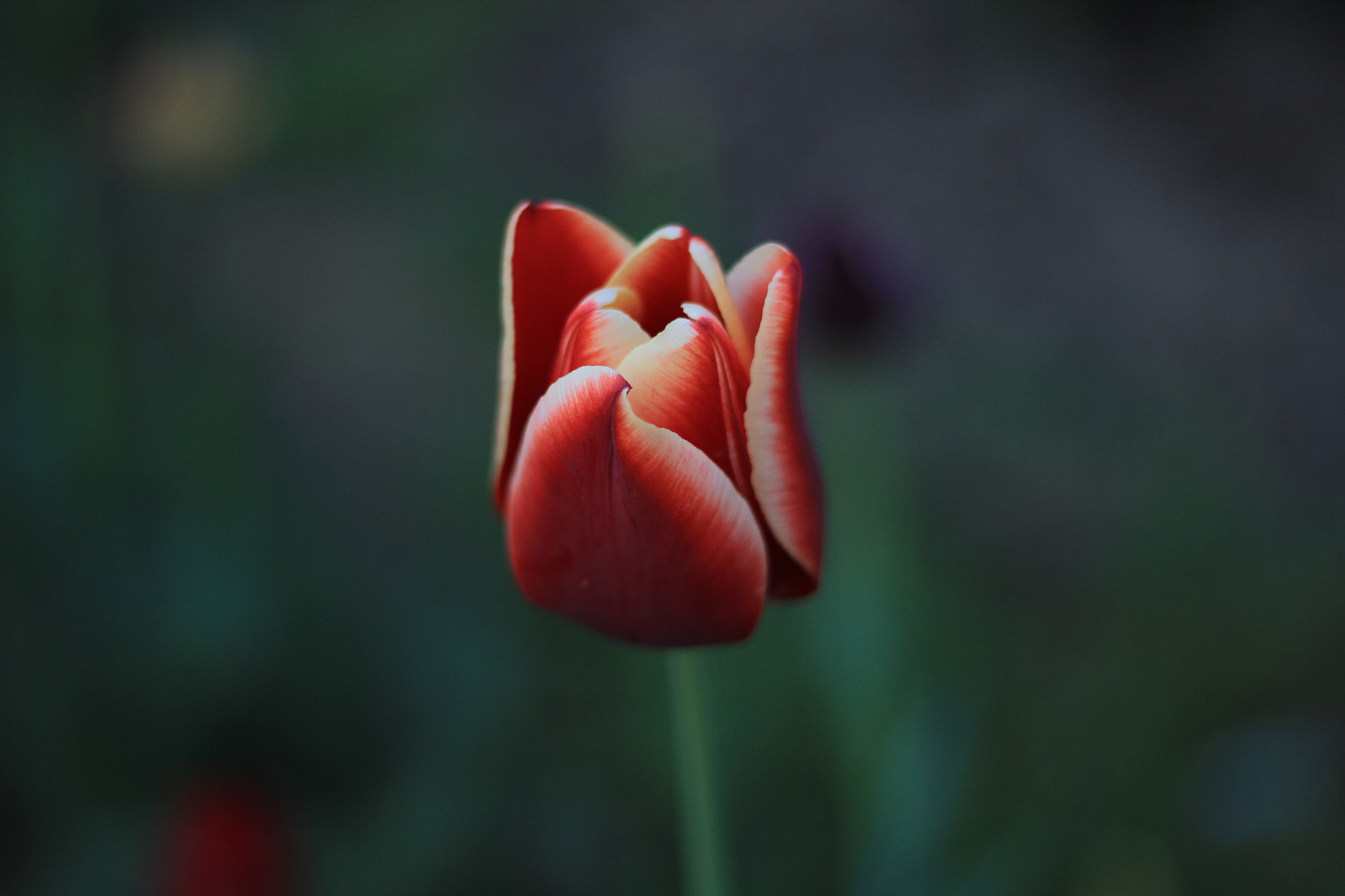 Photograph Tulpe by Nur Uzakgören on 500px