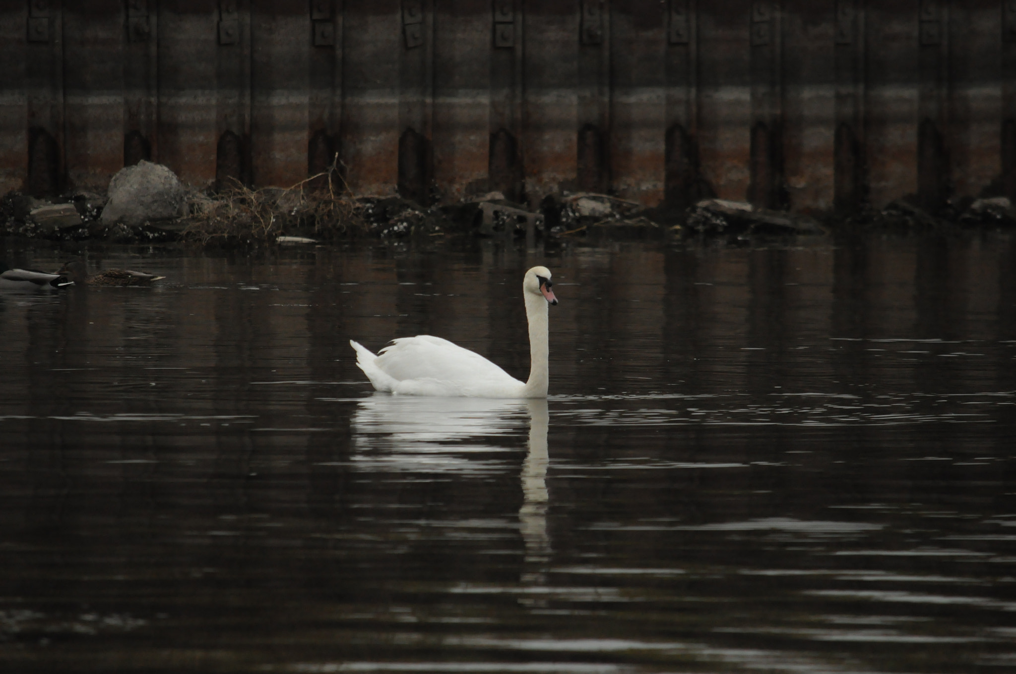 Photograph Swan Of The Bay by Brad O'Connor on 500px