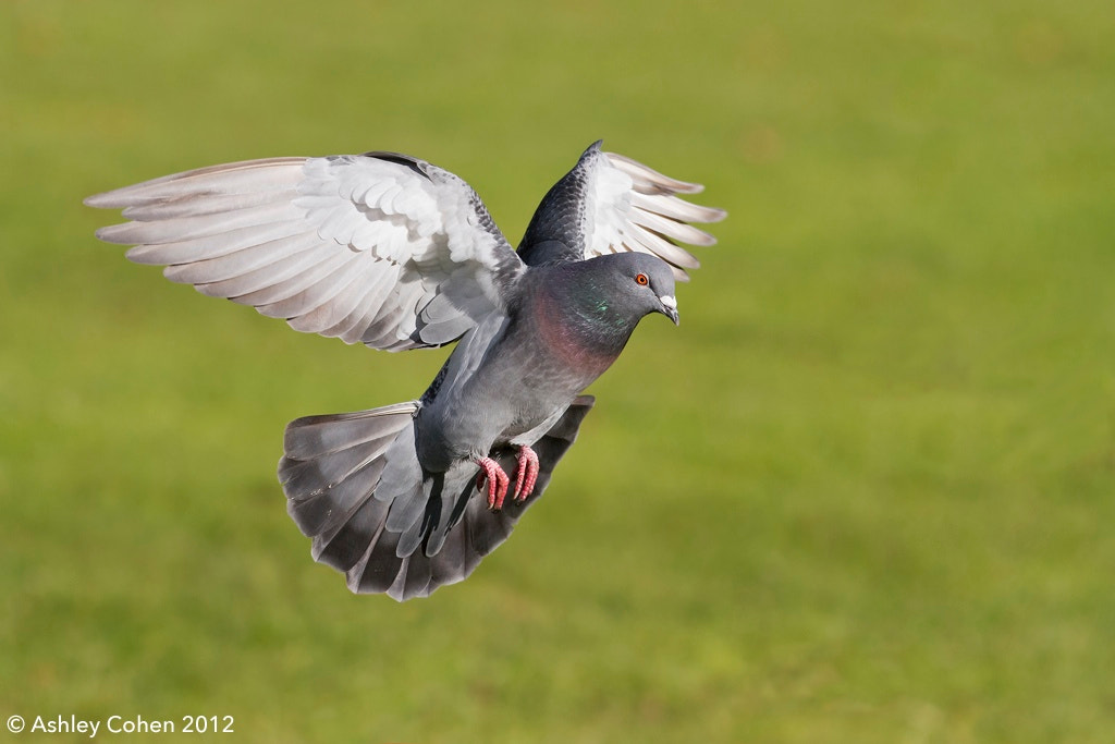 Photograph Feral Pigeon - Wings of Glory by Ashley Cohen on 500px