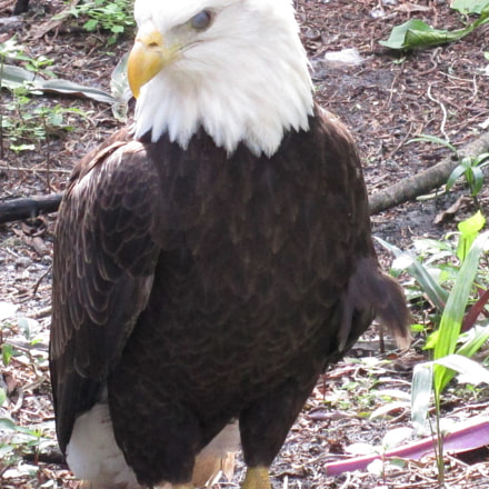 Bald Eagle on ground, Canon POWERSHOT ELPH 150 IS