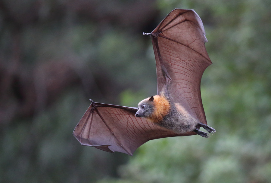 Dry Flying Fox by Michael Cleary on 500px.com